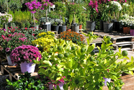 Vente de plantes d'ornement